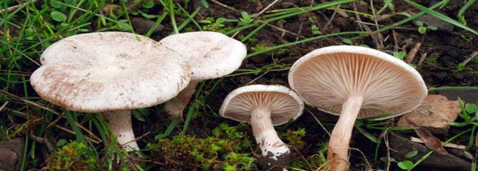 Clitocybe dealbata