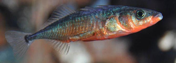 Gasterosteus aculeatus