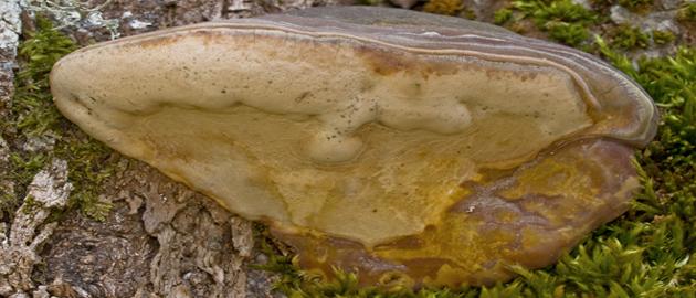 Ganoderma pfeifferi