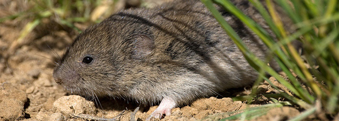Microtus duodecimcostatus