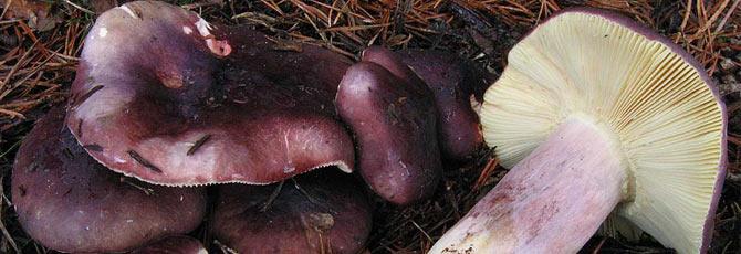 Russula sardonia