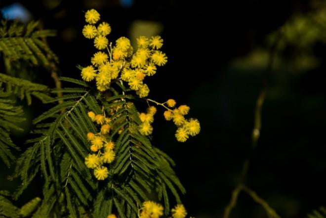 Mimosaren loreak