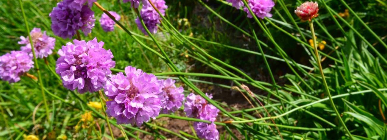 Armeria pubinervis subsp. orissonensis