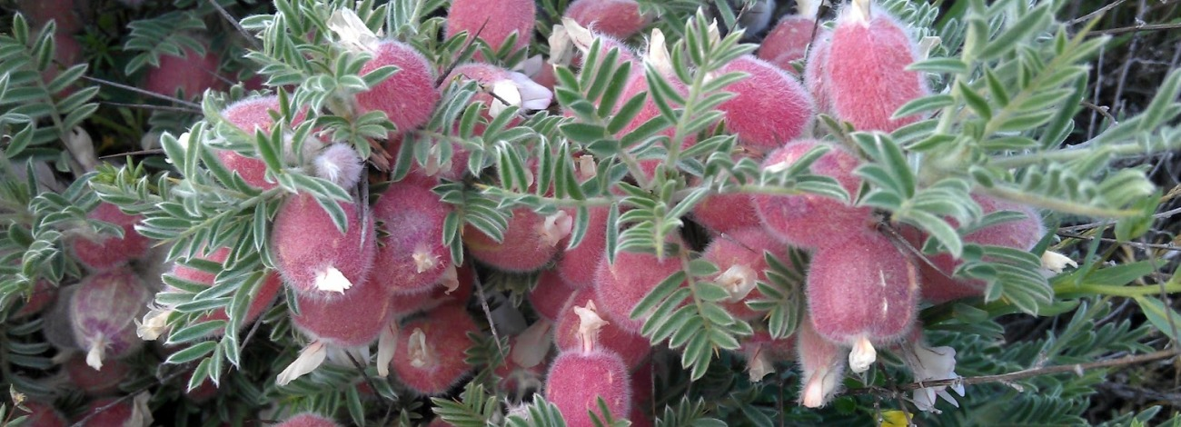 Astragalus clusii
