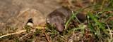 Crocidura suaveolens