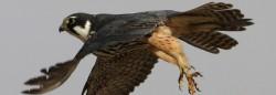 Falconiformes ordena