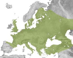 Lepus europaeus
