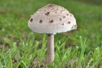 Galanperna (Macrolepiota procera)