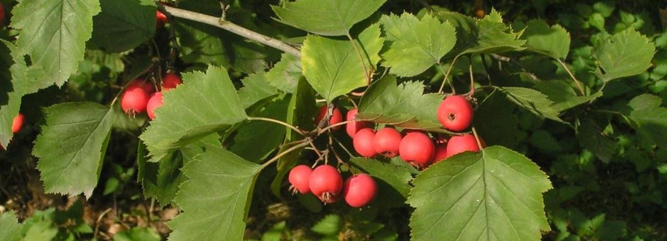 Sorbus latifolia