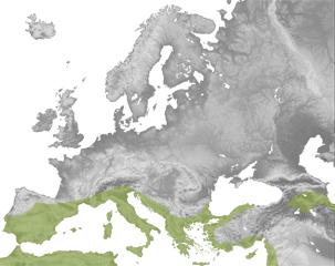 Suncus etruscus