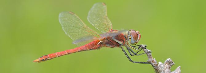 Odonata ordena